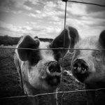 Пересадка сердца свиньи человеку